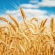 Gold wheat field and blue sky — Stock Photo #13512380