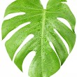 Big green leaf of Monstera plant with water drops isolated on white — Stock Photo #15865795