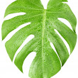 Big green leaf of Monstera plant with water drops isolated on white — Stock Photo