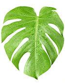 Grande foglia verde della pianta monstera con gocce d'acqua, isolato su bianco — Foto Stock