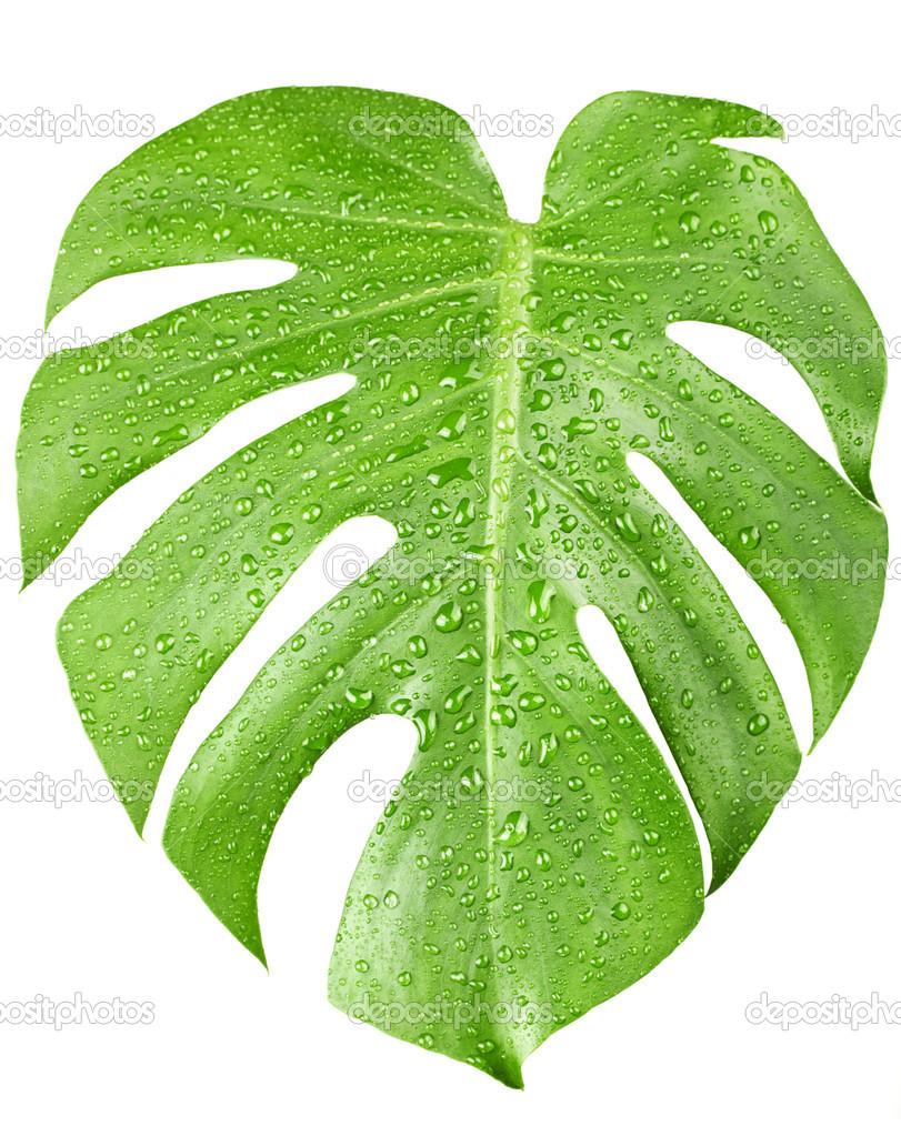 grande feuille verte de monstera plante avec des gouttes d. Black Bedroom Furniture Sets. Home Design Ideas