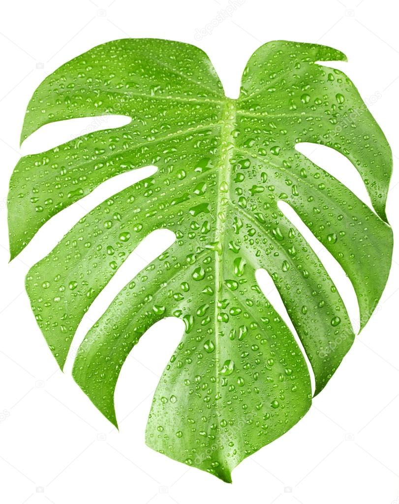 Grande feuille verte de monstera plante avec des gouttes d for Plante grande feuille verte