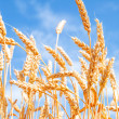 Gold wheat field and blue sky — Stock Photo #18706007
