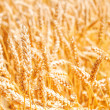 Gold wheat field — Stock Photo #18706017