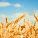 Gold wheat field — Stock Photo #23762231