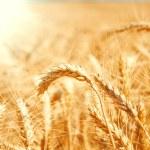 Wheat field — Stock Photo #23762257