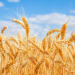 Gold wheat field — Stock Photo #23762283