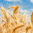 Gold wheat field — Stock Photo
