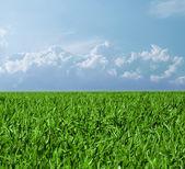 Fältet med ett grönt gräs och den vackra himlen — Stockfoto