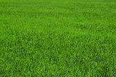 Green grass — Zdjęcie stockowe
