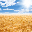 Stock Photo: Gold wheat field and blue sky