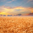 Wheat field at sunset — Stock Photo