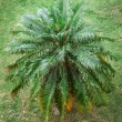 Palm on the grass — Stock Photo
