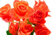 Beautiful branch of roses — Stock Photo
