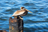Pelican on a rusty pile — Stock Photo