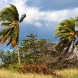Coconut palms and strong winds — Stock Photo #21631847