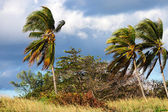 Coconut palms and strong winds — Stock Photo