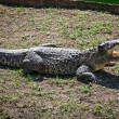 Stock Photo: Crocodile on the ground