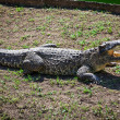 Crocodile on the ground — Stock Photo