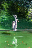 Beautiful pelican — Stock Photo