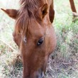 Stock Photo: Head of a brown horse