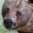 Wild brown bear — Stock Photo