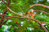 Tropical acacia flower — Stock Photo