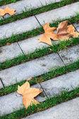 Maple leaves — Foto Stock