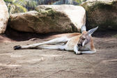 Sleeping kangaroo — Stock Photo