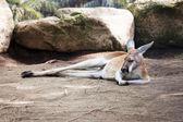 Sleeping kangaroo — Stock Photo