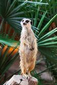 A meerkat — Stock Photo