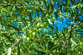 Olive trees at Greece country side — Stock Photo