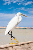 Little egret (egretta garzetta) at wild life — Stock Photo
