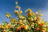 Orange tree - Citrus sinensis — Stok fotoğraf