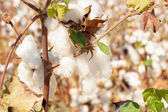 Bright bud of cotton — Stock Photo