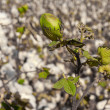 Royalty-Free Stock Photo: Green bud of cotton on a field