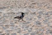 白头的乌鸦 — 图库照片