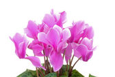 Pink cyclamen flowers with green leaves — Stock Photo