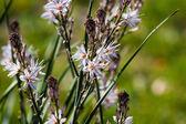 Asphodelus ramosus — Stockfoto