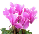 Pink cyclamen flowers — Stock Photo