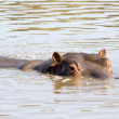 Hippopotamus — Stock Photo #29779681