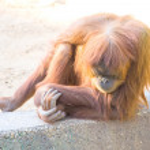 Orangutang — Stock Photo #29779857