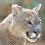 Cougar — Stock Photo #29780087