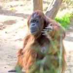 Orangutang — Stock Photo #29780105