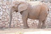 非洲大象 — 图库照片