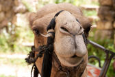 Portrait of camel — Stock fotografie