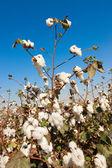 Ripe cottons bush in a field — Stock Photo