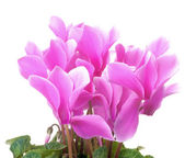 Bright pink cyclamen flowers — Stock Photo