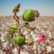 Green bud of cotton on a field — Stock Photo #30374811