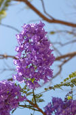 Jacaranda mimosifolia — Stock Photo